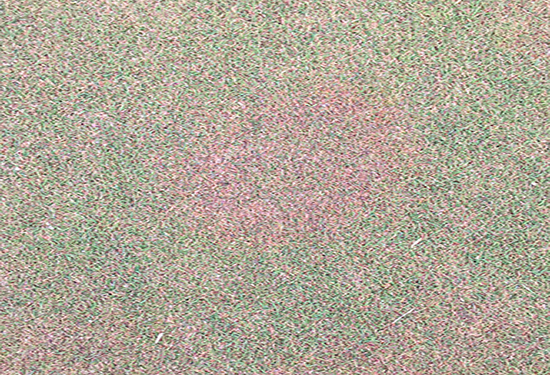 Purpling bentgrass is common, but inspect closely for potential Microdochium patch activity.