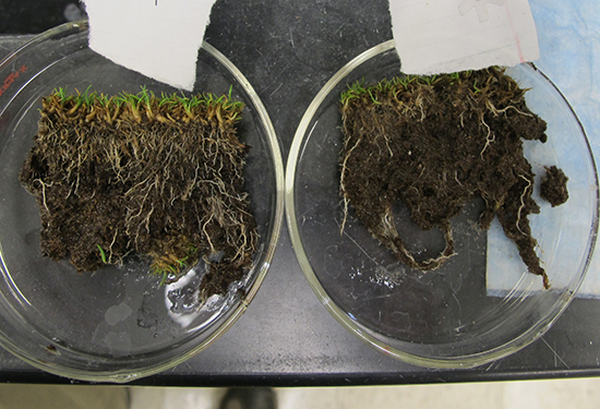 Pythium root rot is limiting spring root growth on some putting greens.